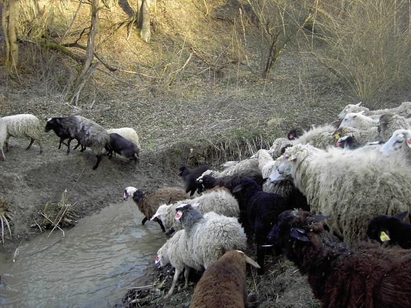 Экономическое значение овцеводства