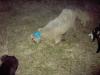лечение овец