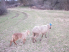 раны овец