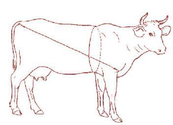 Таблица обмера быков живым весом