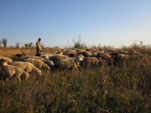 Организация выпаса овец
