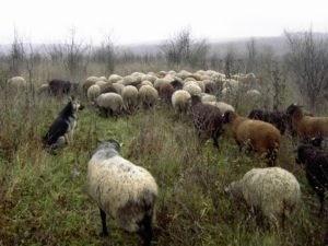 Инвестиции в овцеводство