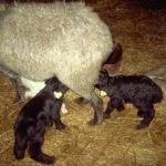 номерной учет в овцеводстве