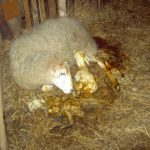 инстинкт материнства  овец