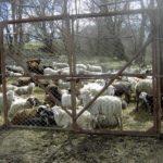 выгоднее крупный рогатый скот или овцы