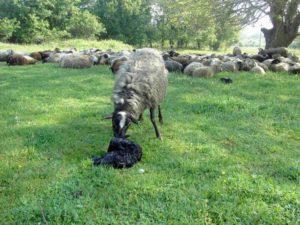 весеннее ягнение овец