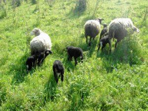 ягнята и овцы