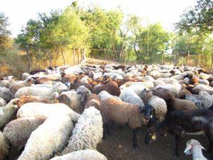 овцеводческая ферма