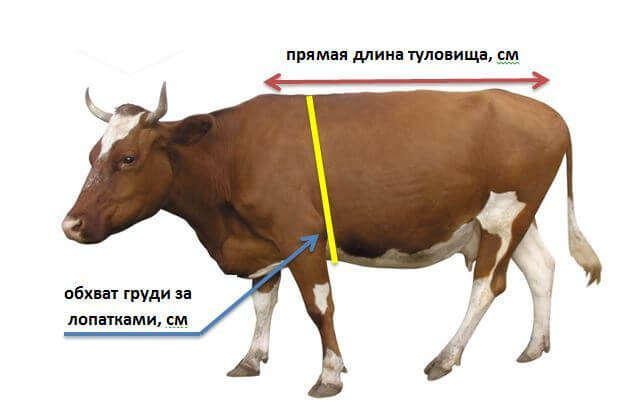 Определение веса КРС по формуле