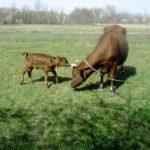 Новая технология кормления коров