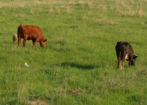 Мясной скот