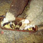 Кормление коров и овец зерном