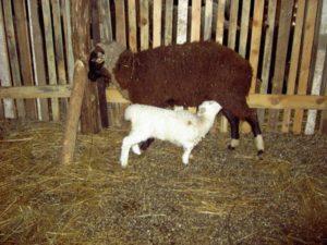 виртуально реальная овечка