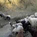 Экономическое значение овцеводства.