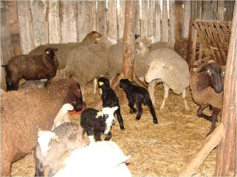 Окот овец и выращивание ягнят 43