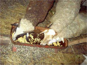 Новая технология выращивания овец