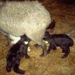 Развитие овцеводства