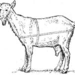 Определение живой массы коз